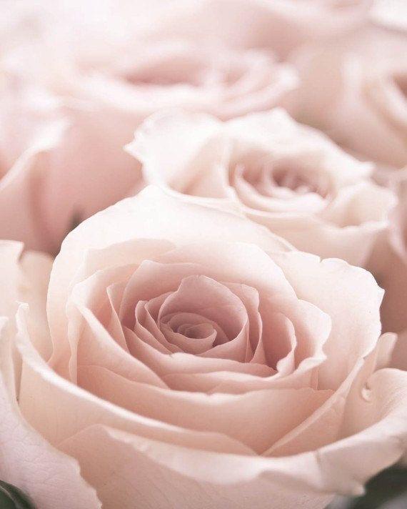5be6ef8a6a29bcf337414c00cd94c4d2--blush-roses-blush-pink.jpg