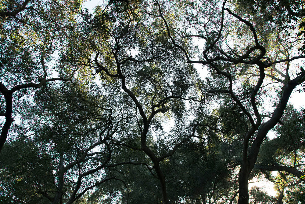 Oak forests of Descano Gardens, La Canada Flintridge, CA