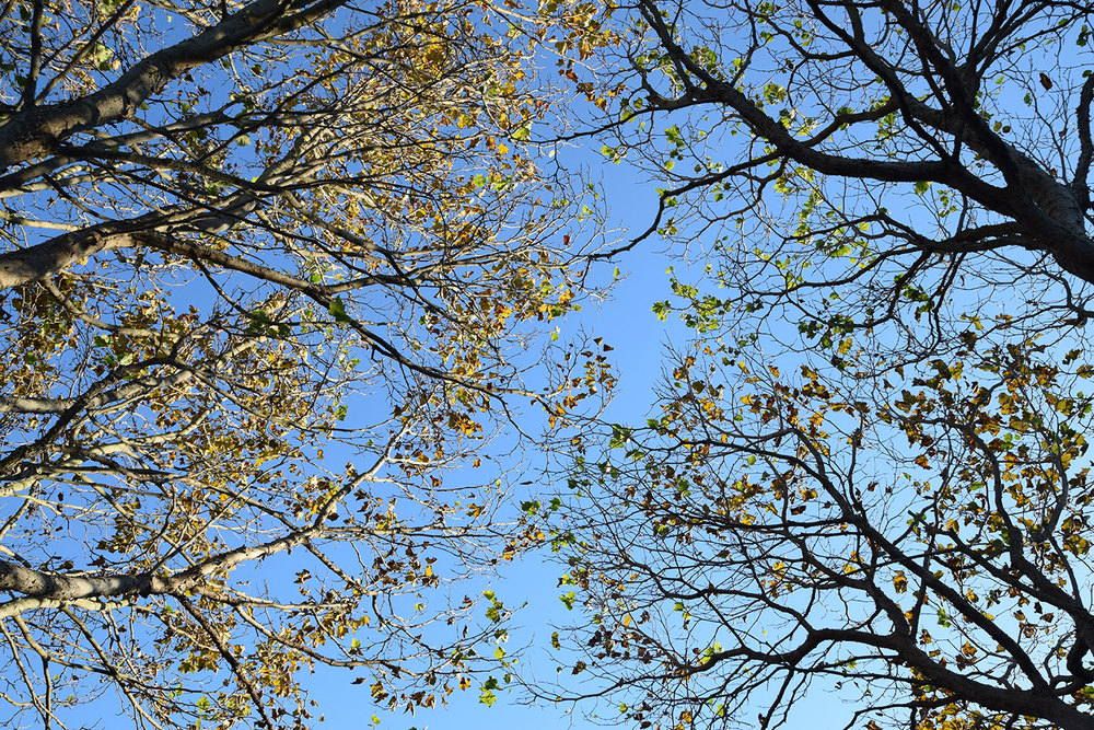 Sycamore canopies touch