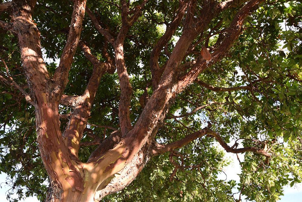 Strawberry tree, San Francisco CA