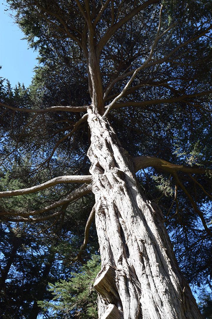Monterey Cypress in Golden Gate Park, San Francisco CA