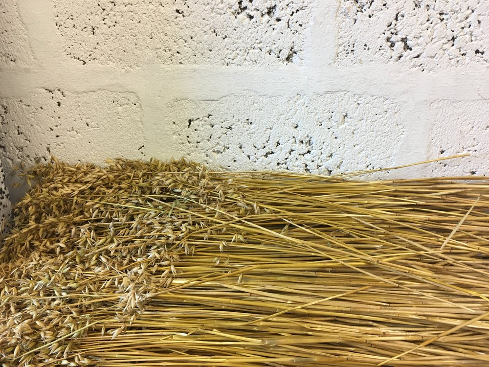 A Good Year | Straw from the island is harvested and cleaned before transforming this material into iconic Orkney chairs. The outer husk of the straw is removed to reveal the glossy and golden interior of the plant.