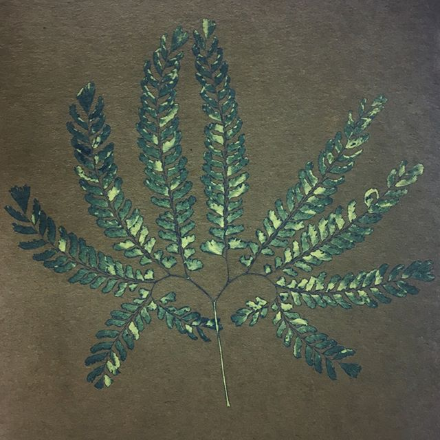 Capturing light today.. here's a cyanotype of a maidenhair fern, before and after washing
