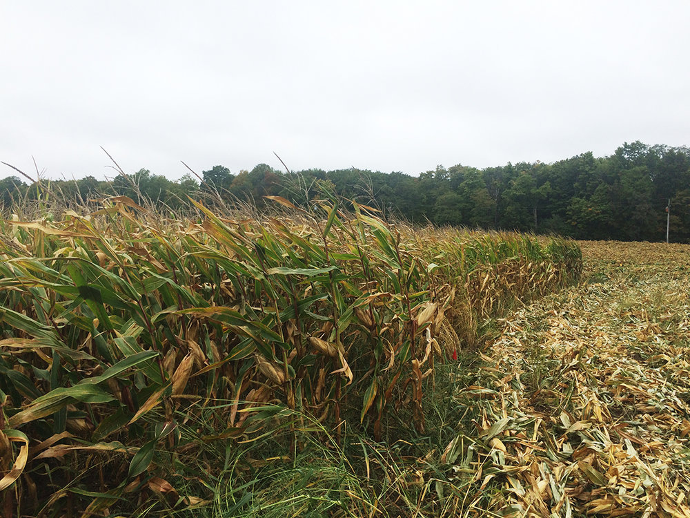 The Branton's corn field is partially harvested.