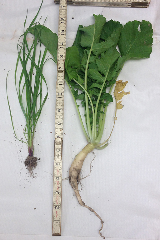 Annual ryegrass and tillage radish from Toussaint's 2015 cover crop, which was interseeded into corn in mid-June.