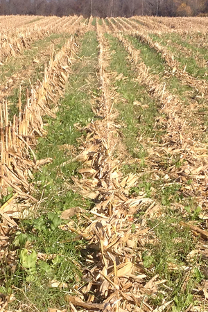 Established annual ryegrass and tillage radish after corn harvest in November 2015.