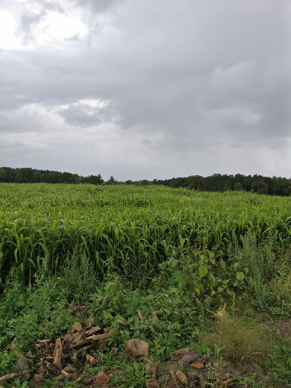 Sudan grass single cut in September 2016. Photo provided.