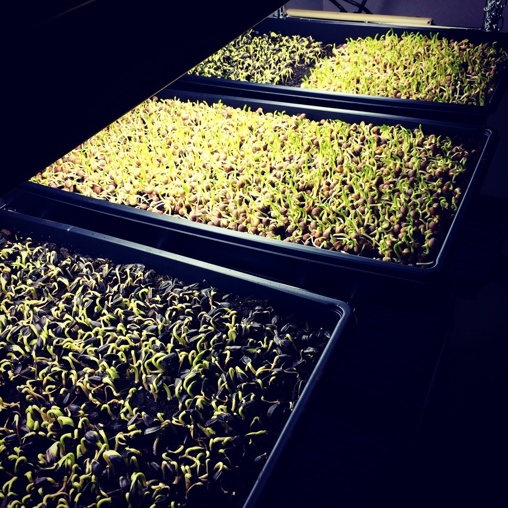 Trays of sunflower and pea microgreens