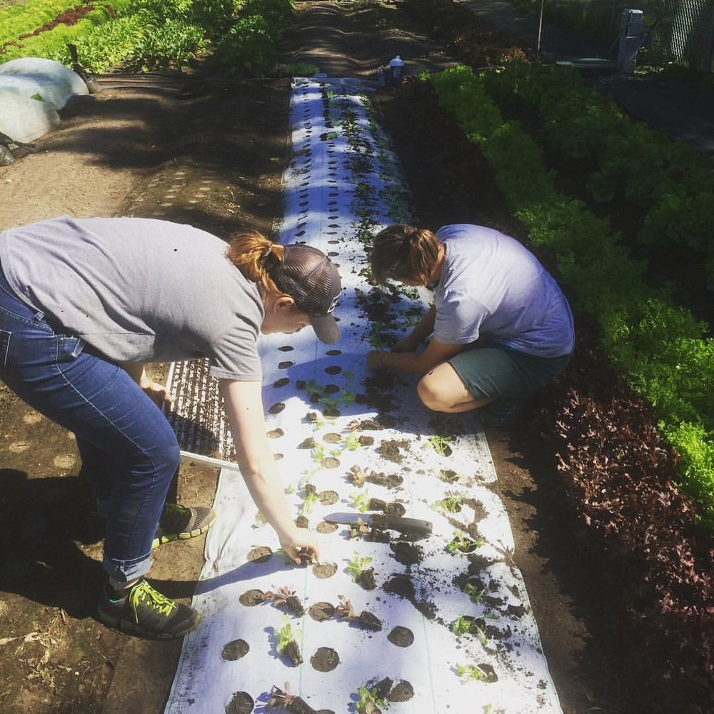 Kristen and Kate transplant lettuces