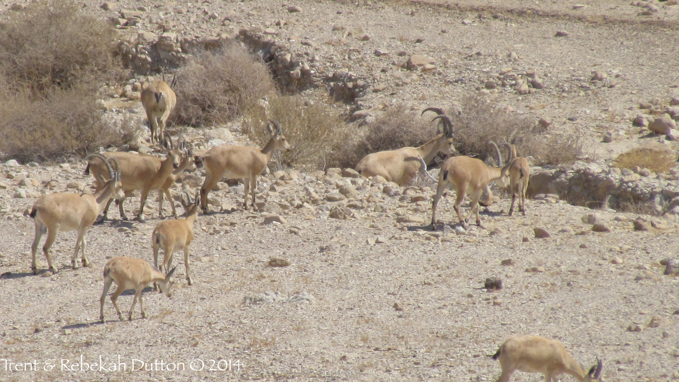 5_Ibex_Herd_Qumran_Day5