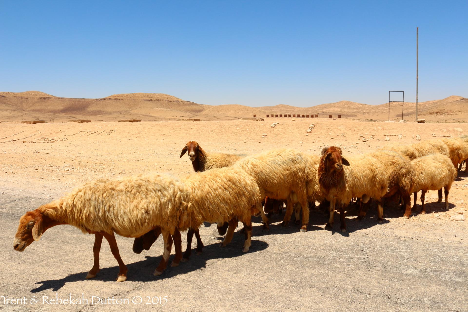 05_Negev_Sheep_1