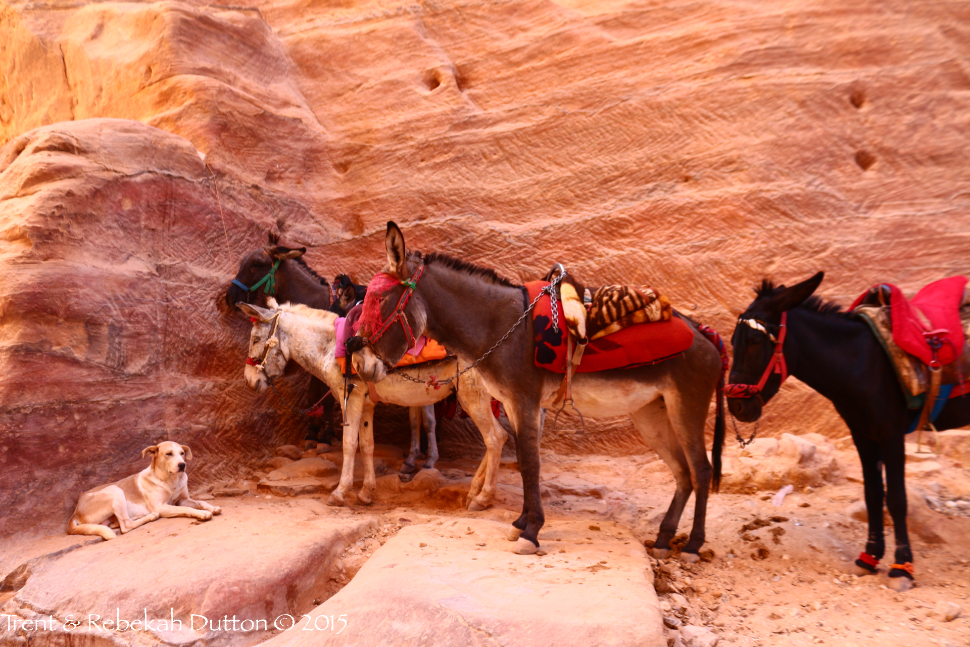 5_Dog_Donkeys_Petra