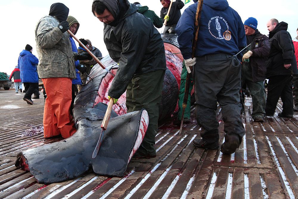 The whale meat and organs are divided amongst members of the crew according to a traditional hierarchy. Extra meat is distributed to others in town and stored for the winter.