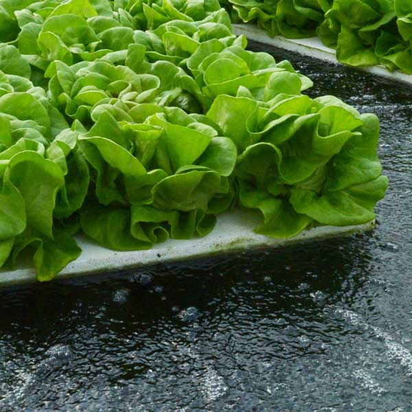 Suncrest™ Bibb lettuce on rafts floating on nutrient-rich, oxygenated water — a Deep Water Culture (DWC) growing method.