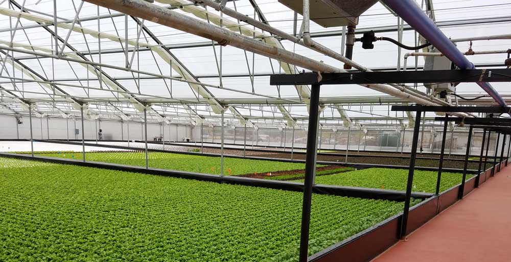 Pescadero Growers operates Suncrest's Deep Water Culture (DWC)   hydroponic tanks   in a 1.25 acre greenhouse to grow local Bibb and Red Romaine lettuce for the SF Bay Area.