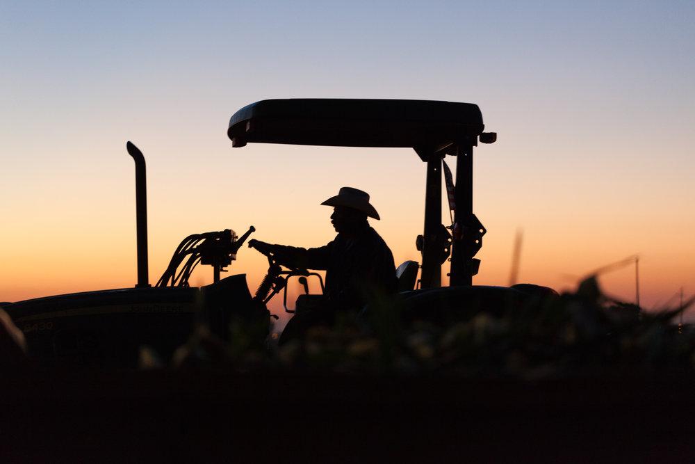 Corn Harvest, Brentwood, California