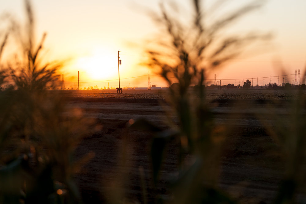 Corn Fields, Brentwood, California