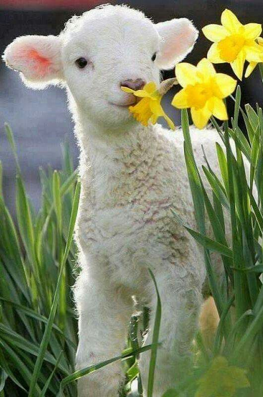 I give you a lamb  and  some daffodils.....forget about the snow. Happy St David's Day!!