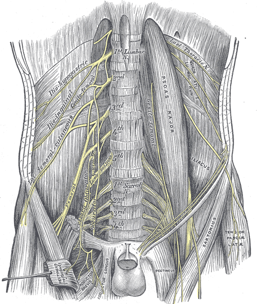 Image Credit: Gray's Anatomy: Public Domain