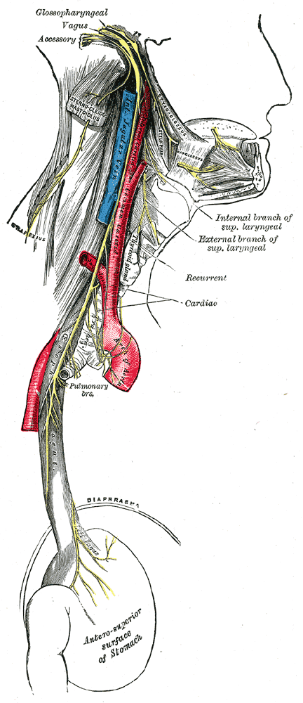 The course and distribution of the glossopharyngeal, vagus, and accessory nerves.