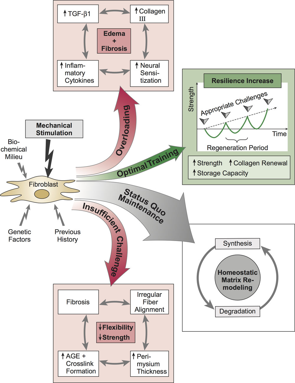 TGF-Β1 PLAYS A ROLE IN TISSUE REMODELING, AS A THERAPEUTIC INTERVENTION MASSAGE THERAPY HAS THE POTENTIAL TO ATTENUATE TGF-Β1 INDUCED FIBROBLAST TO MYOFIBROBLAST TRANSFORMATION  DAVIS'S LAW, ATTRIBUTION: WWW.FASCIALNET.COM