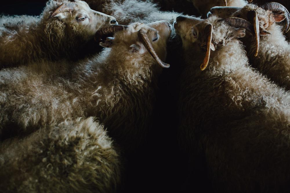 MikeSeehagel-Iceland-SheepFarm-02.jpg