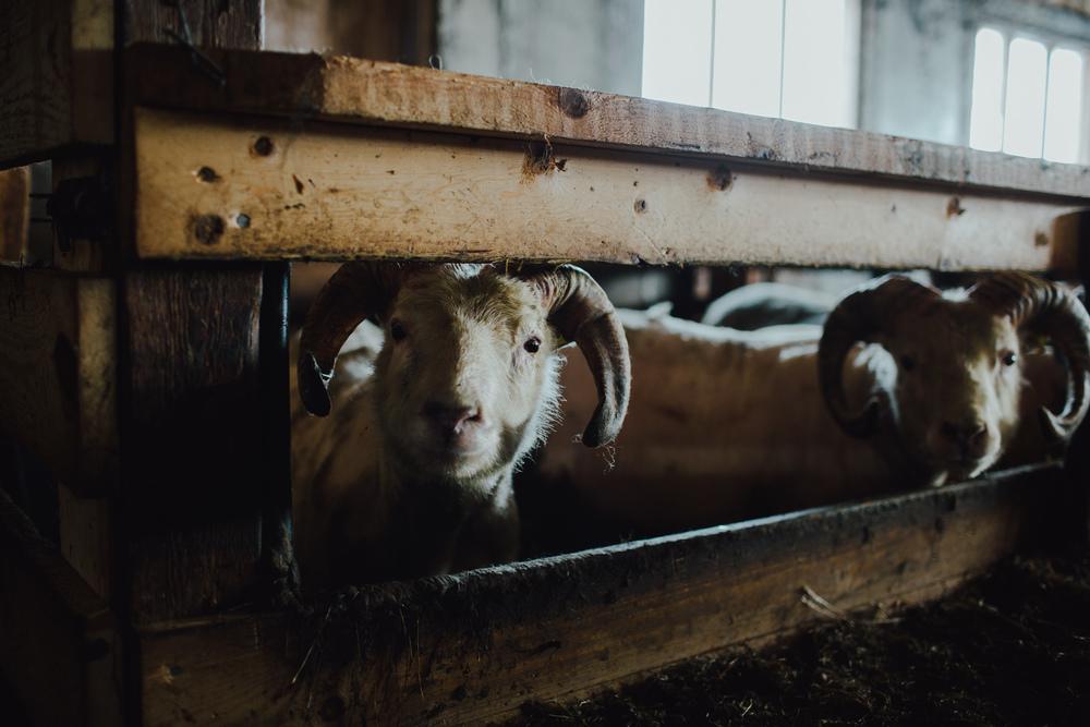 MikeSeehagel-Iceland-SheepFarm-09.jpg