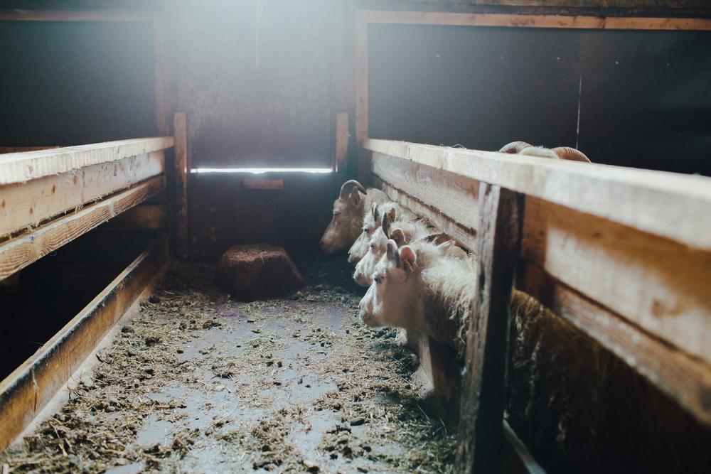 MikeSeehagel-Iceland-SheepFarm-13.jpg