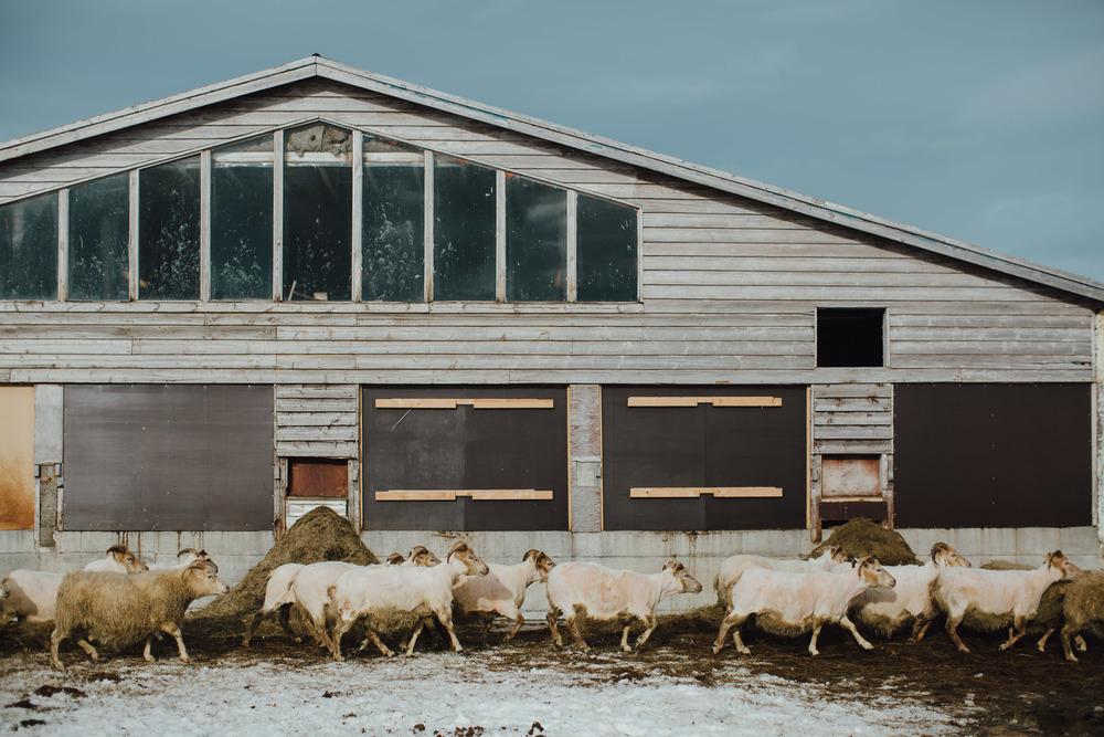 MikeSeehagel-Iceland-SheepFarm-25.jpg
