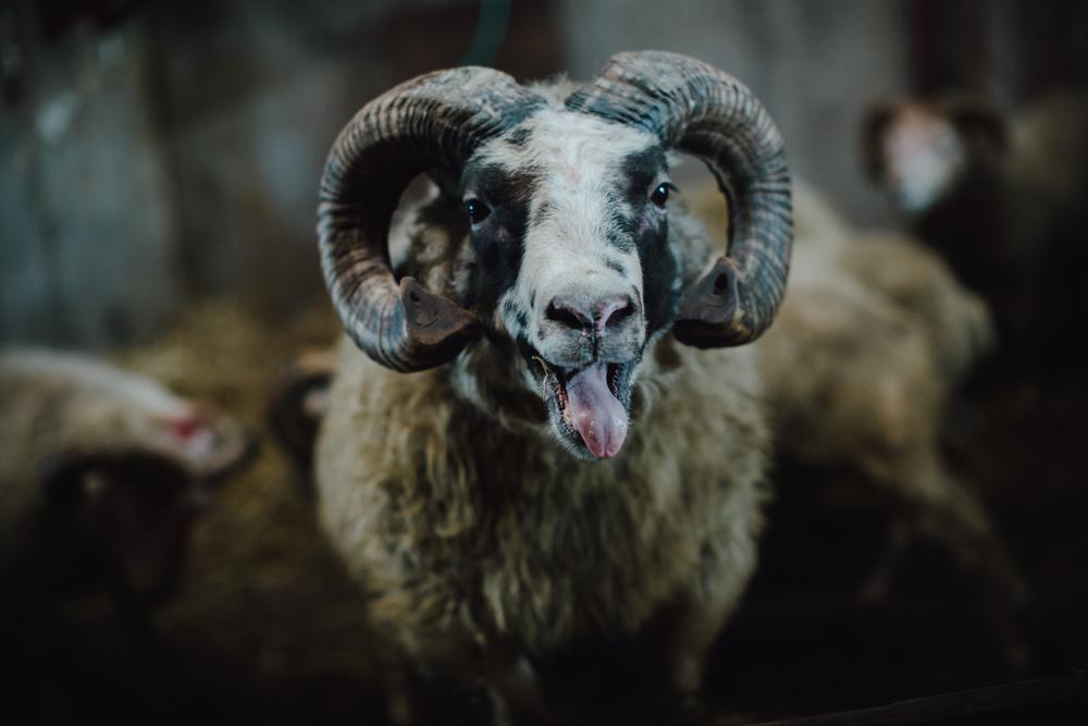 MikeSeehagel-Iceland-SheepFarm-22.jpg
