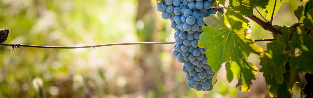 Syrah Harvest 7.jpg