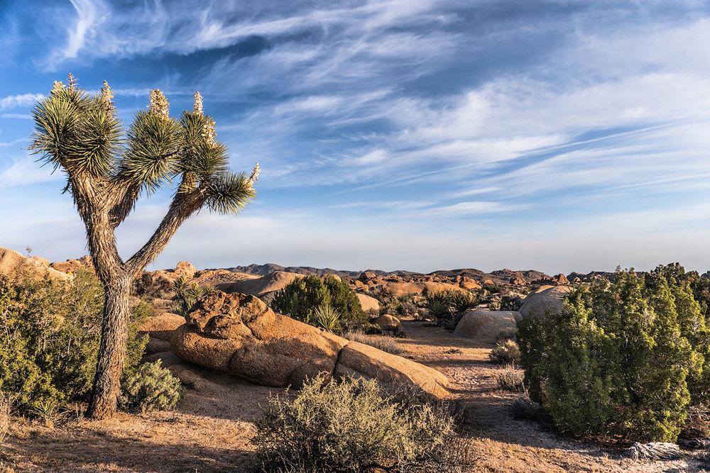 Web_Joshua-Tree-Sunrise.jpg