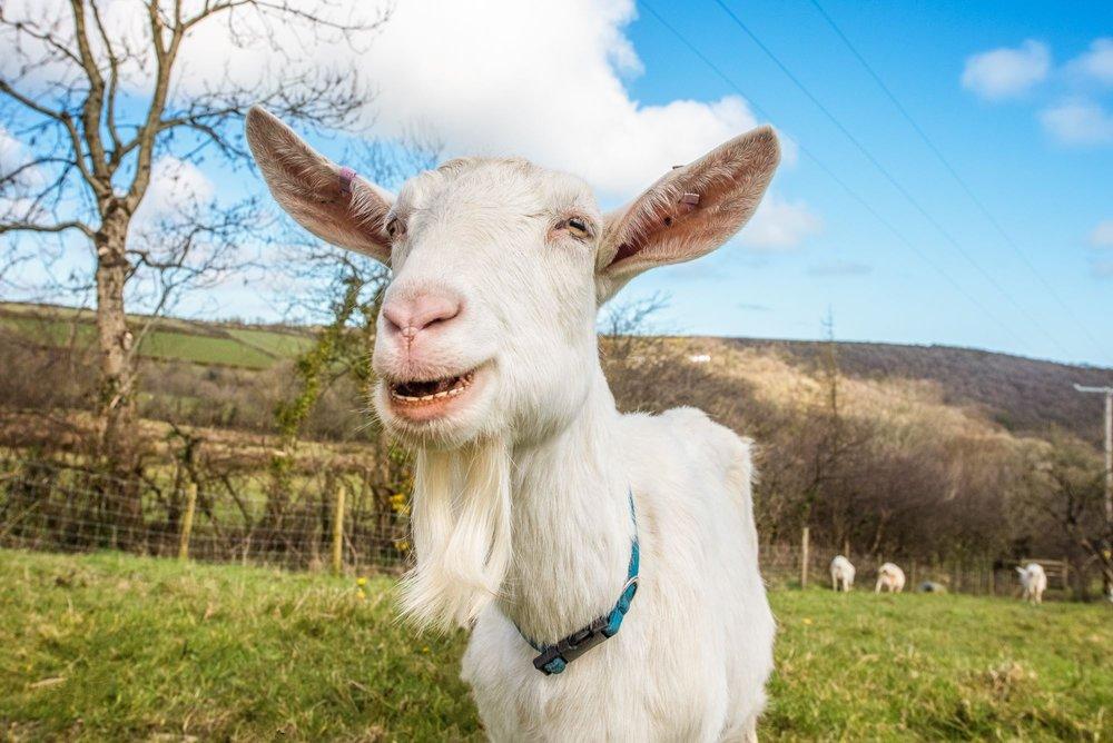 Chuckling Goat goat.jpg