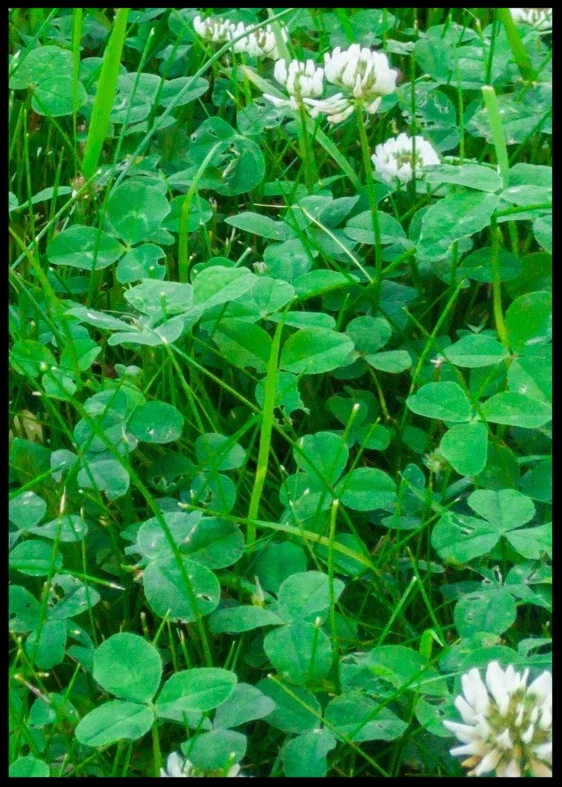 AdobeStock_116878654 white clover copy.jpg