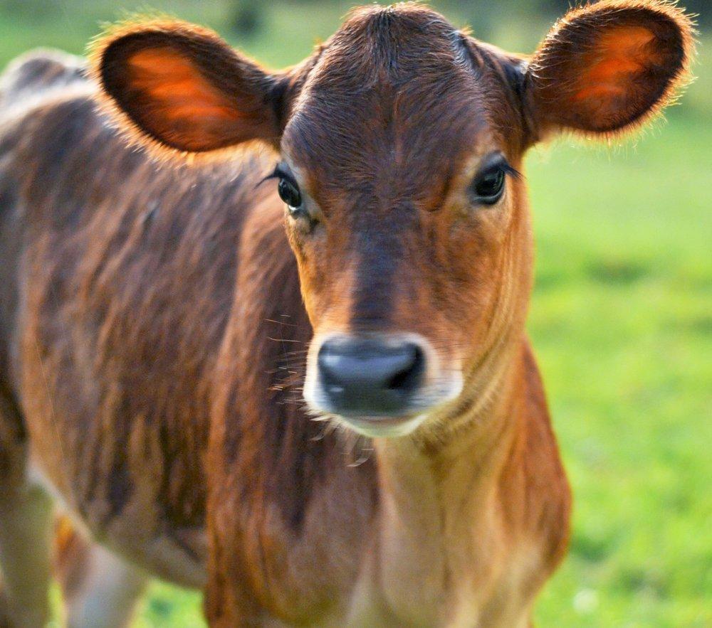 Calf at Foot dairying