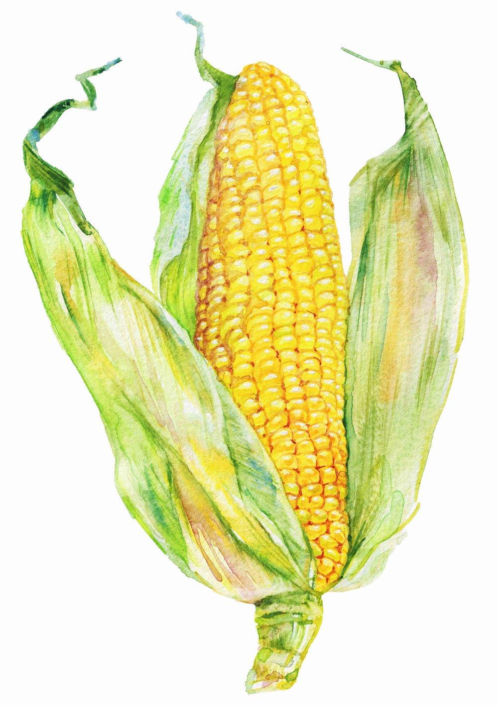 AdobeStock_172007641 corn watercolour copy.jpg