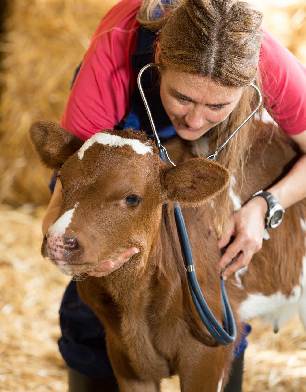 AdobeStock_83156091 calf with veterinarian.jpg