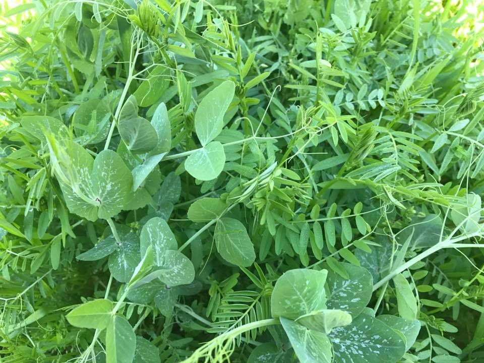 Image:   a cover crop of hairy vetch, peas and winter wheat, click to enlarge