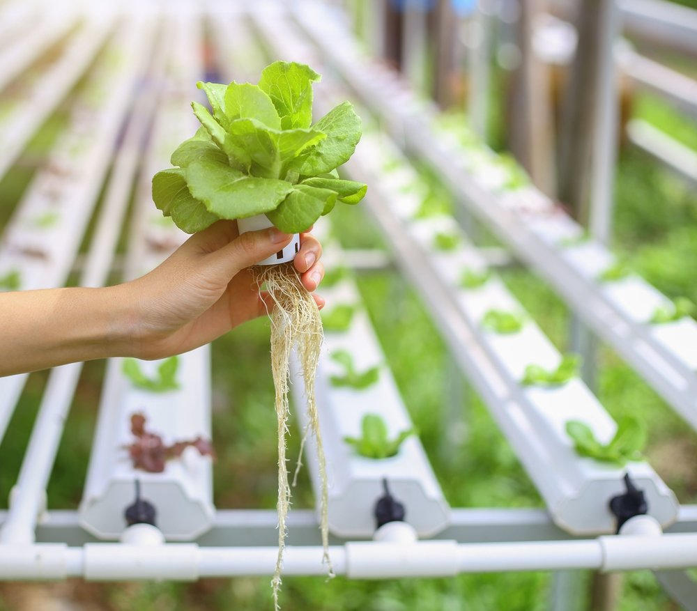 Image:   a hydroponically-grown lettuce (source stock).
