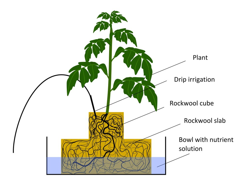 Image:   a hydroponic plant grown in rockwool, click to enlarge.