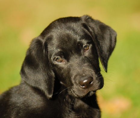 COPYRIGHT-BARBAR-HAYWARD-PHOTOGRAPHER-LABRADOR-RETRIEVER-PUPPYHOOD.jpg