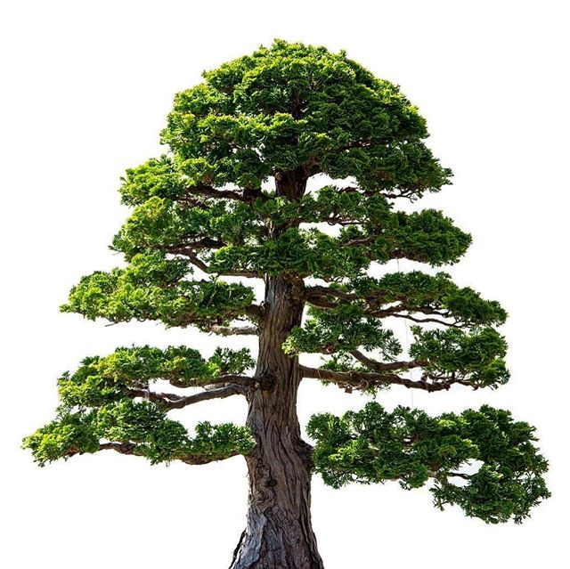 Bonsai Tree . . . #plants #chicagobotanicgarden #bonsai #garden #trees #nature  #naturephotography #japanese #bonsaitree #natgeo #natgeotravel #travel #botanicgarden #japan #japanesegarden