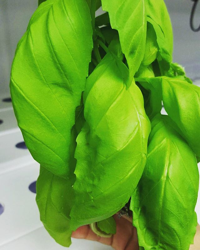 Up close & personal. #harvested #leafy #fresh #basil #indoor #hydroponic #sustainable #homegrownfarms