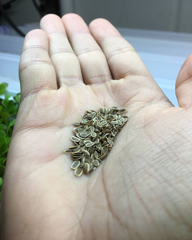 No big dill, there's enough for everyone! #seeding #dill #seeds #hydroponics #HGF #fresh #local #sustainable