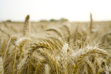 wheat-field-1177791-1598x1065.jpg