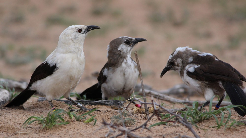 A group of cooperatively breeding Pied Babblers
