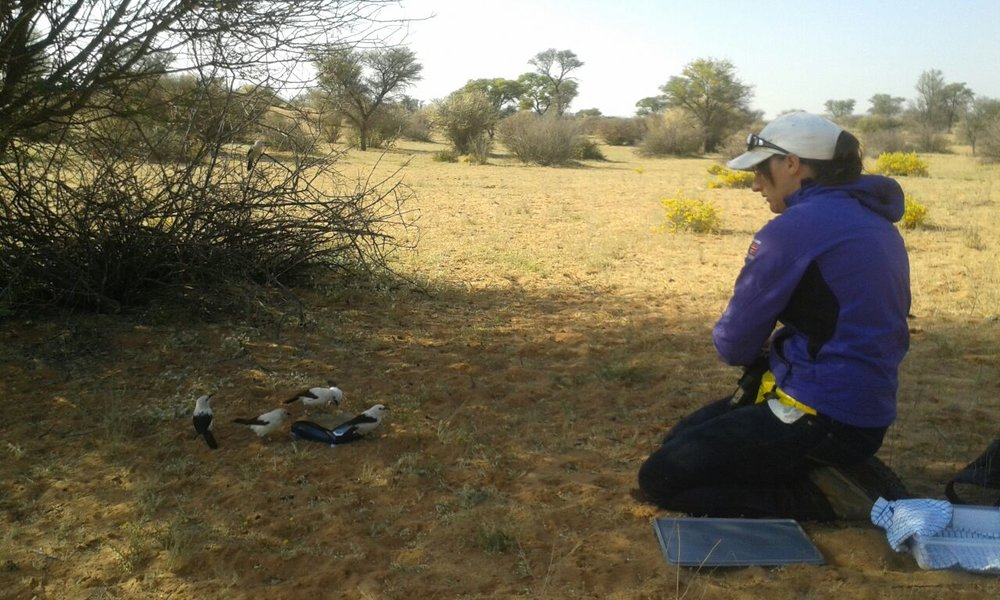 Amanda Bourne weighing southern pied babblers as part of her project to understand how sociality mediates the relationship between climate and fitness