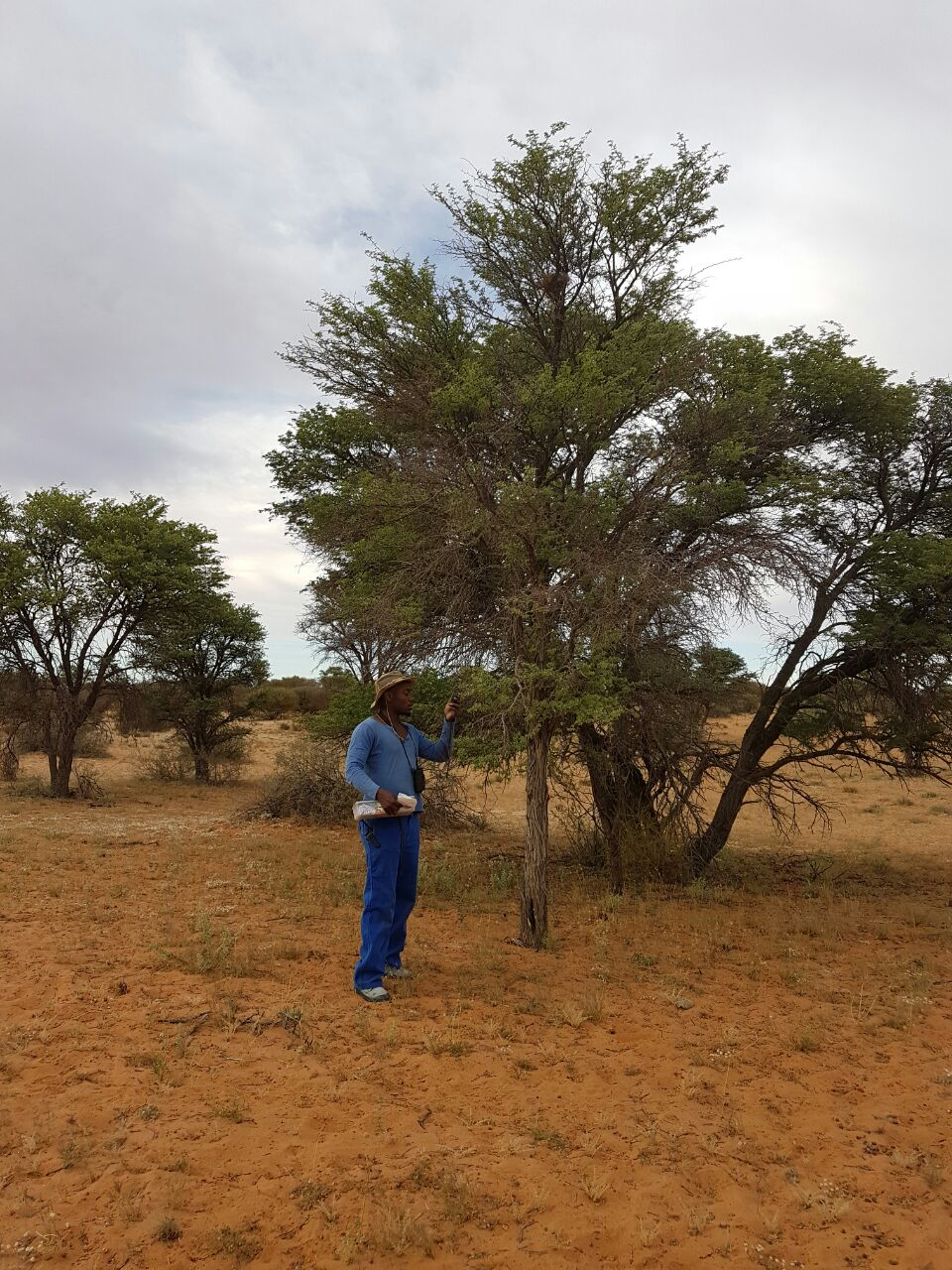 Sello tags the location of a new babbler nest (in the middle of the tree near the top) using a hand-held GPS