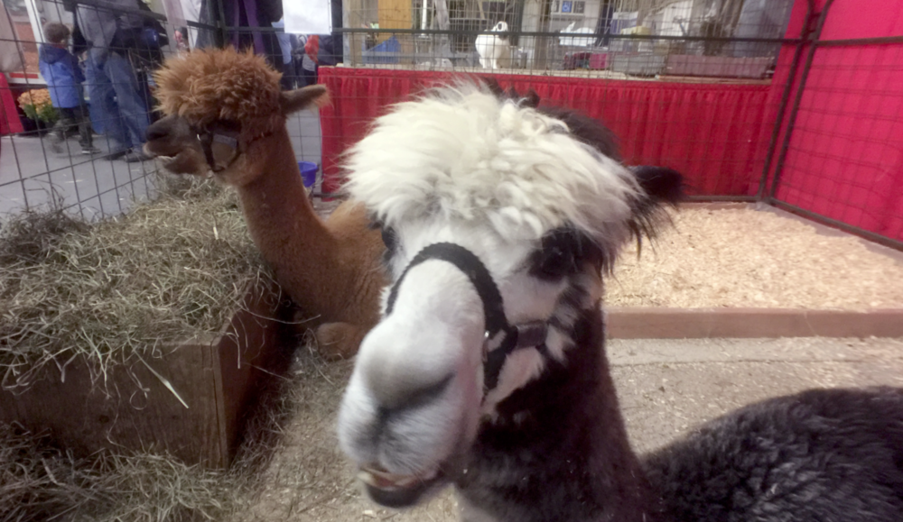 Alpacas are gentle animal with hair that makes wool on par with cashmere.