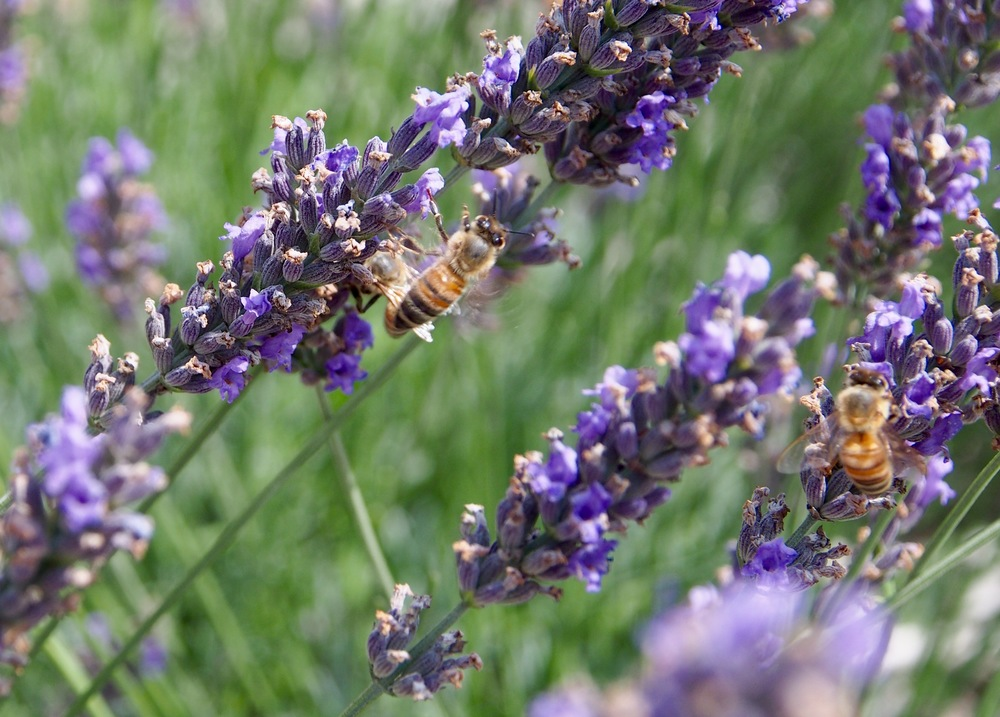 Honey bees love lavender and the Terre Bleu farms raise both, side by side.